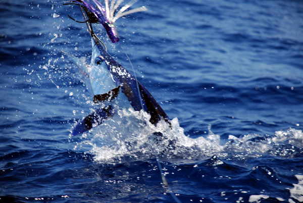 Marlin Fishing Trips