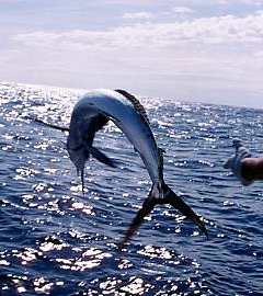 Fort Lauderdale sailfishing
