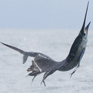 Sailfish trips