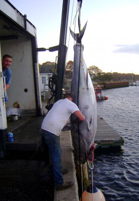 MA Giant Bluefin Tuna