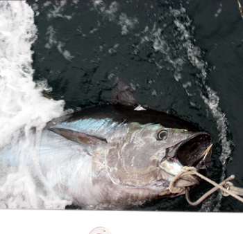 NC bluefin fishing