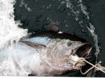 north carolina bluefin
